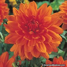 Named for the Dutch Royal Family, this variety blooms in rich, glowing shades of orange. What other plant gives such spectacular rewards for so little work
