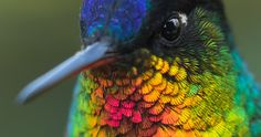 Featured Image for Look at how fabulous this fiery-throated hummingbird's feathers are