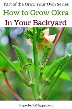 Everything you need to know about growing okra in your vegetable garden. Varities to consider, how and when to plant okra, okra pests and caring for your plants. Planting Vegetables, Organic Vegetables, Vegetable Gardening, Growing Vegetables, Sustainable Gardening, Sustainable Living, Organic Gardening, Gardening Tips, Survival Tips