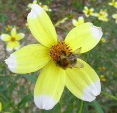 Buy Bidens 'Hannay's Lemon Drop' - Unusual Garden Plants Direct from PlantsToPlant Cut Flowers, Yellow Flowers, Bee Friendly Plants, Lemon Yellow, How To Level Ground, Garden Plants, Perennials, Seeds, Drop