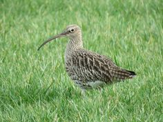 Wulp, Curlew.