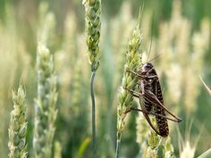 Locusts on the wheat. Never a good sign...