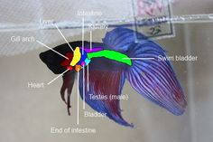 Anatomy - Betta Late Than Never Rescue