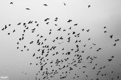 flock of crows, birds, korea 까마귀 떼, 아산