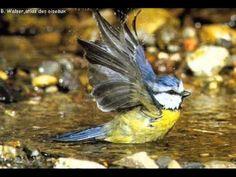 Mésange bleue - YouTube Chow Chow, Robins, Birds, Brown Bear, Otter, Botany, Dog, Animaux, Flowers