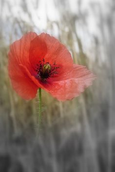 flower idea- poppies in a brighter coral Colorful Flowers, Wild Flowers, Beautiful Flowers, Poppy Flowers, Exotic Flowers, Purple Flowers, Poppies Tattoo, Red Poppies, Watercolor Poppies