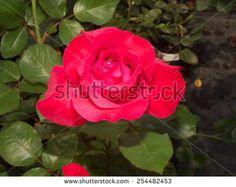 Velvet rose.