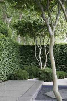 Parrotia Persica trees.