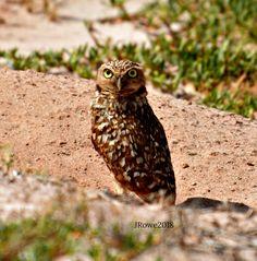 Burrowing Owl in Aruba 2018.  #owls #birdwatching #lovethebirds
