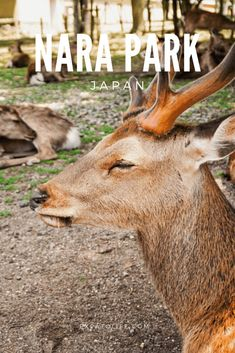 Mentioning Nara Park, people will think of lovely deer wandering in large and poetic gardens. What to do in Nara Park Japan? Read this Nara Park Guide for tips on how to get there, Nara Park tour, things to do and see at this beautiful park. #NaraPark #DeerPark #Japan #travelguide #traveltips