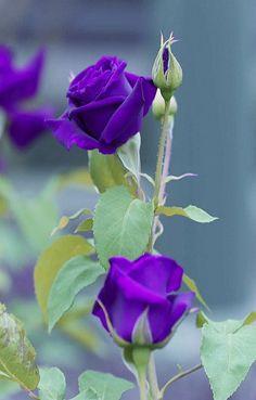 Beautiful Roses, Most Beautiful, Purple Garden, Purple Roses, Backyard, Amazing, Plants, Decor Ideas, Gardening