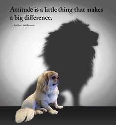 Pekingese - Lion dog, indeed!