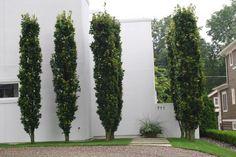 columnar-beech
