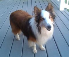 Lucky is an adoptable Shetland Sheepdog Sheltie Dog in Abingdon, MD. Lucky is a very sweet, friendly and playful sable boy about 5 - 6 years old. �He is great with other dogs and would love a friendly...