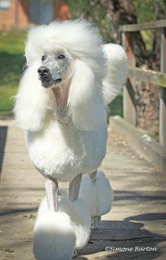 Glamorous Poodle;)))
