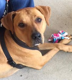 04/08/16-Baachus is an adoptable Rhodesian Ridgeback searching for a forever family near Dunwoody, GA. Use Petfinder to find adoptable pets in your area.