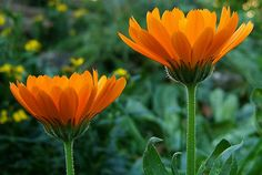 Healing Calendula, heal wounds, antimicrobial, astringent, anti-fungal,antiviral,.