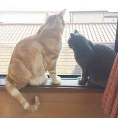 #ふじあん#窓際猫#アメショ#スコティッシュフォールド#後ろ姿#しっぽ#おすわり#猫#溺愛#愛猫#ねこ部#ぬこ#cat#instacat#catgram#mysweet#gatto#gato#chat#Katze#고양이#americanshorthair#scottishfold#watching#back