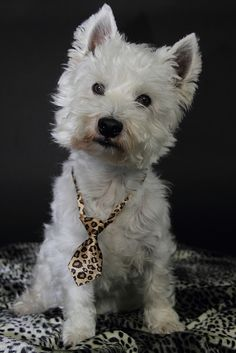 westie, west highland white terrier