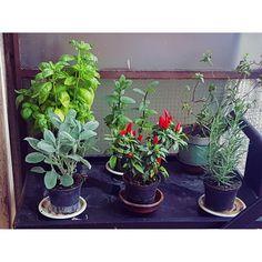 Orgogliosa del mio orticello casalingo   #orto #housemade #vegetables #spices #food