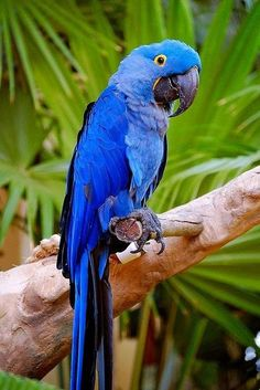 #Hyacinth Macaws It's no surprise that many who are interested in adopting a pet bird want to make sure that the one they get is friendly, gentle, and well-suited to being a companion pet. These traits are even more important for those who have little or no experience caring for pet birds --