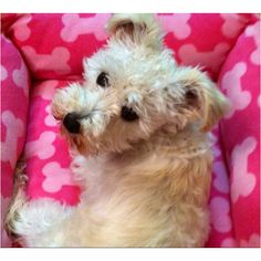 Schnoodle : ) looks like my molly!