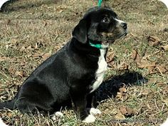 parissipany, NJ - Border Collie/Greater Swiss Mountain Dog Mix. Meet SADIE, a puppy for adoption. http://www.adoptapet.com/pet/17537992-parissipany-new-jersey-border-collie-mix