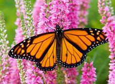 El Diario - Pérdida de hábitat es causa para merma de mariposas ...