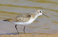 Little Stint ( Calidris minuta )