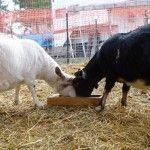 article on kinder goats