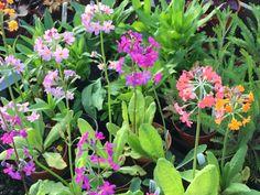 Primula bullyana, beesiana, bulleesiana Candelabra Primrose