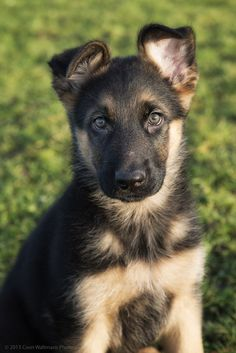 'Jaxon' by Coen Waltmans German Shepherd Puppy