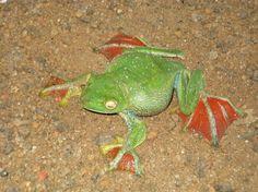 """flying"" frog, probably Rhacophorus moltrecti"