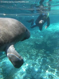 Swim with manatees at Crystal River, FL.