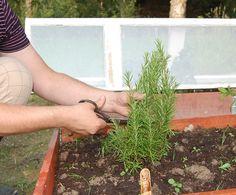 Rosmarin Herbs, Gardening, Plants, Garten, Herb, Flora, Plant, Lawn And Garden, Planting
