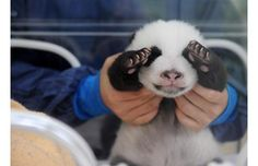 PANDA BABY...I want to hold one, one day =)