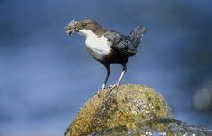 Dipper Bird........Springwatch 2013