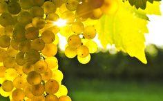 Racimo de uvas blancas madurando al sol del verano en la Vid.