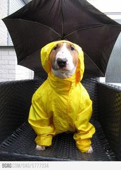 Bull Terrier - ready for the rain.