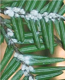 Hemlock Woolly Adelgid - Great Smoky Mountains National Park (U. Insect Species, State Forest, Smoky Mountain National Park, Water Quality, Great Smoky Mountains, National Parks, Nature, Forests, Balls