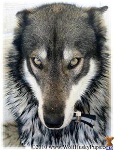 Wolf Husky Hybrid