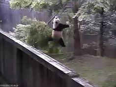 Bei Bei panda, upside down, slides down his tepee and whoops! 7/17/16 - YouTube