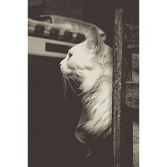 Gluttony praticando suas poses de rei da cozinha 2/2 :: Projeto Xerimbabo ~  #petphotography #fotografiapet #pet #animal #animaux #bicho #amobicho #bichano #gato #mãedegato #horadogato #gatosbrasil #loucadosgatos #instagato #gatto #chat #neko #nekostragam #cat #catlovers #catsofinstagram #instacat #caterday #lovecats #meowmeow #canon #canonbr #135mm #xerimbaboproject #bw_lover