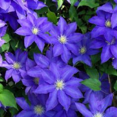 Had a huge clematis at my old house....<3