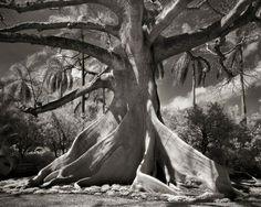 Una mujer lededicó suvida afotografiar los árboles más viejos del mundo
