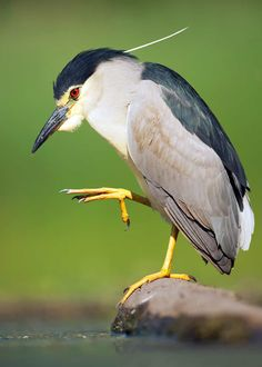 The black-crowned night heron (Nycticorax nycticorax) is a gorgeous bird - I love the red eyes! Weird Birds, Funny Birds, Kinds Of Birds, Pretty Birds, Beautiful Birds, Animals Beautiful, Tropical Birds, Colorful Birds, Reptiles
