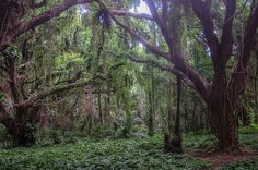 The magical forest at Honolua Bay, Maui