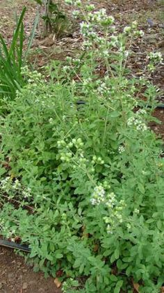 Marjoram - Related to oregano, with similar leaves and size, but much sweeter more complex flavor, and enchanting fragrance. Easy to grow and deerproof--good for containers, along walks, among vegetables. Drought-resistant, even when young--don't overwater.