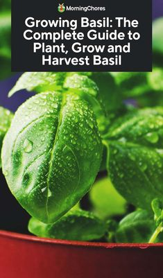 garden care vegetable Growing Basil: The Complete Guide to Plant, Care, and Harvest Basil Garden Care, Organic Gardening, Gardening Tips, Vegetable Gardening, Indoor Gardening, Balcony Gardening, Fairy Gardening, Gardening Services, Plants Indoor