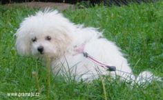 Bessy 8/2012 - Bichon Bolognese / Boloňský psík